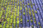 alger på taget